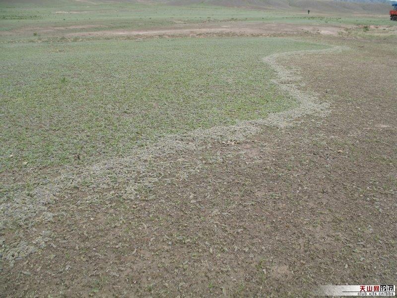 Worms devastate Wusu fields