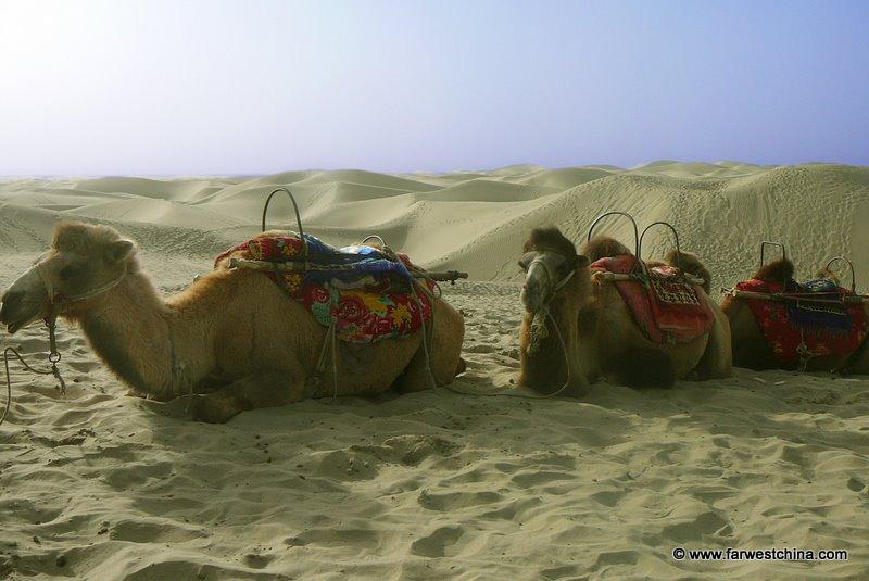 Camels resting in Xinjiang's Taklamakan Desert