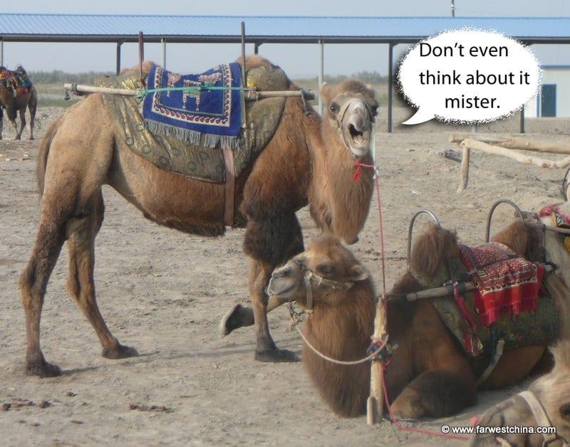 A camel yells at the camera