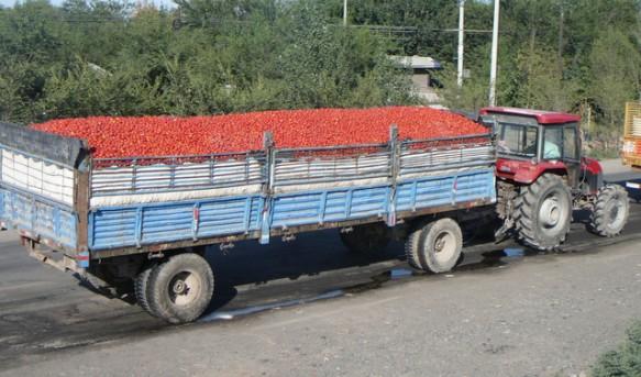 Transporting tomatoes in Xinjiang, China
