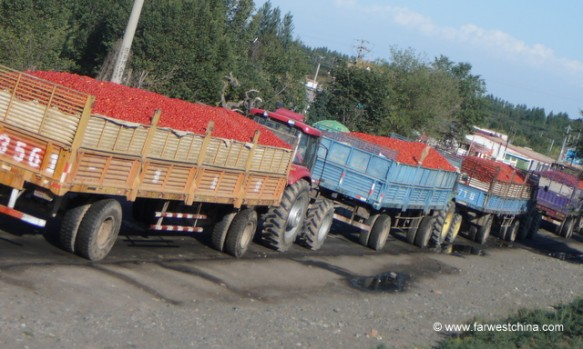 Truckloads of Xinjiang tomatoes waiting to be processed