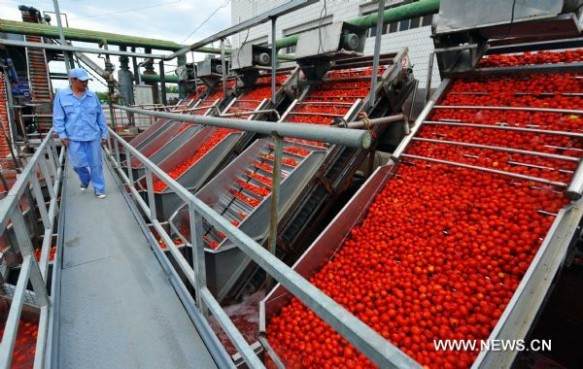 Processing the tomatoes in Xinjiang, China