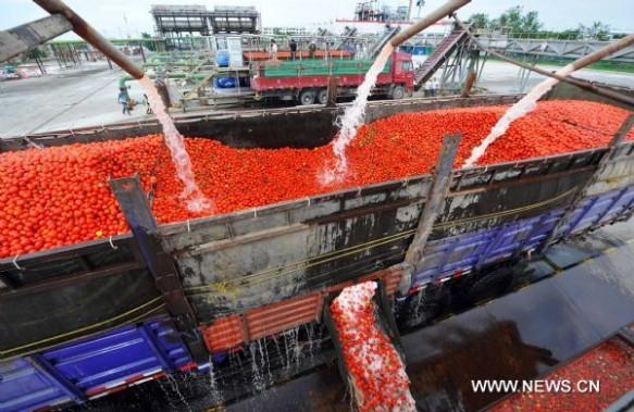 Washing the tomatoes at a Xinjiang plant