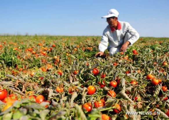 A worker picking tomatoes in the Chinese province of Xinjiang