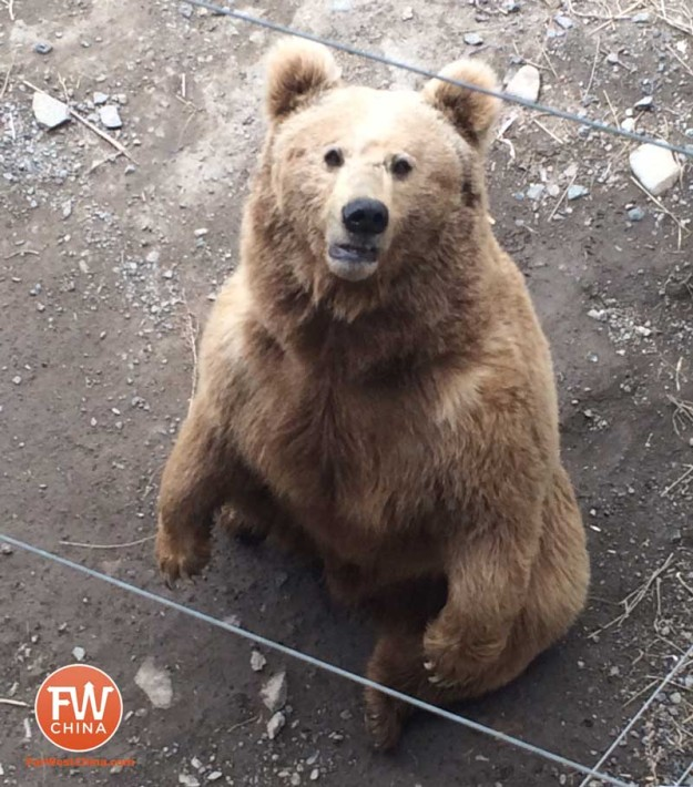 A bear begs for food at the Xinjiang Tianshan Safari Park