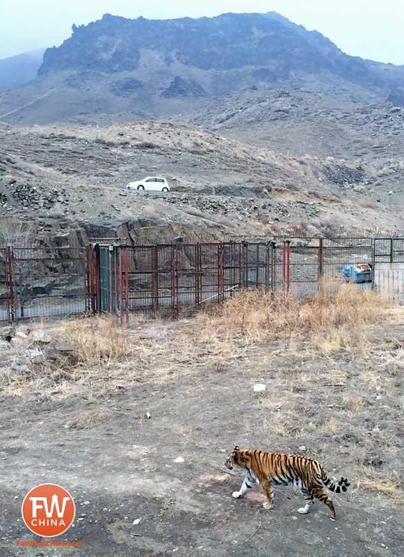 A tiger at the Xinjiang Safari Park