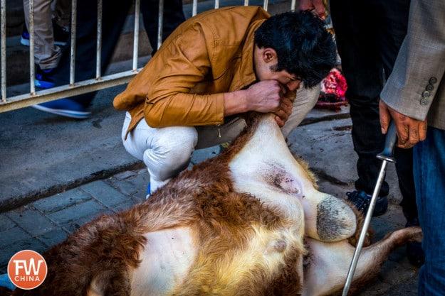 Using the mouth to blow air into a sheep carcass in Urumqi, Xinjiang