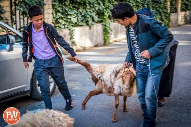 Uyghur men dragging a sheep in Urumqi, Xinjiang during Corban