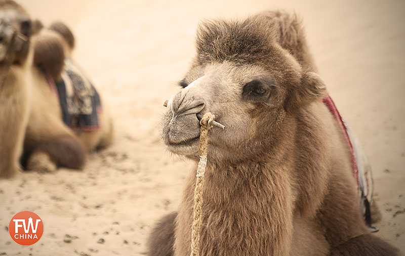 A camel in the Xinjiang desert that I posted to Facebook in China