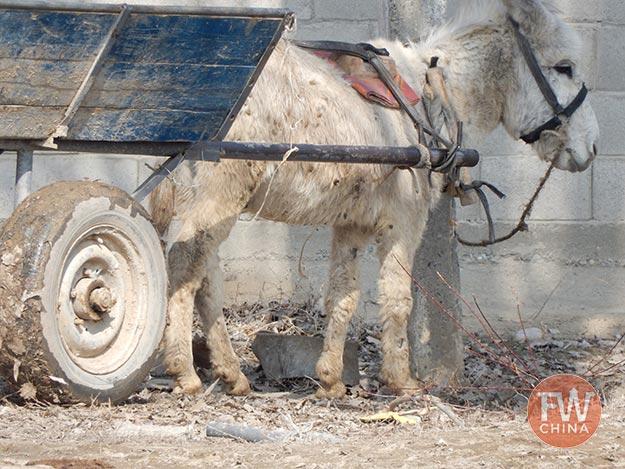 A donkey in the streets of Almaty in Kazakhstan
